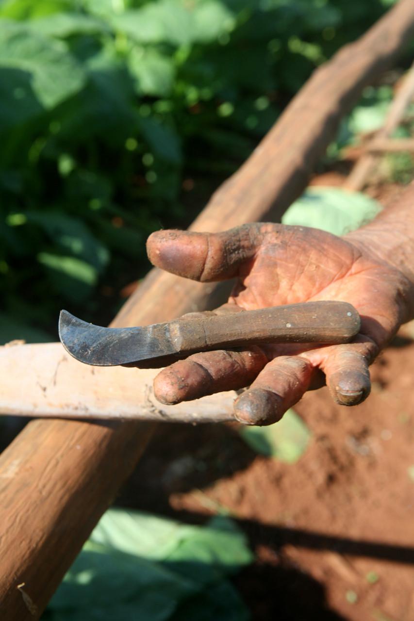 cuba tobacco 17 small